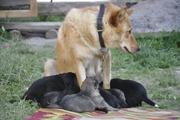 Продаются щенки карело-финской лайки