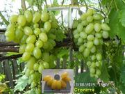 Чубуки винограду - 170 сортів і г. ф.